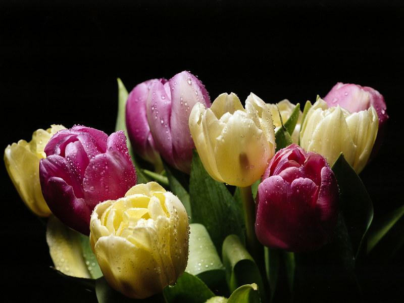 Tulips Portra160