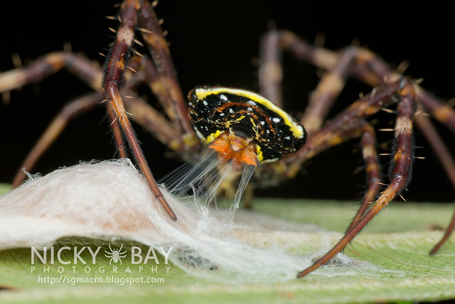 St Andrew's Cross Spider (Argiope sp.) - DSC_6893