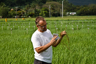 Dr. Achim Dobermann inspects the rat damage in the field