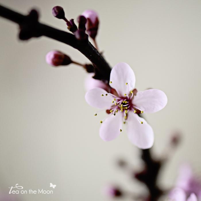 prunus con flor 06