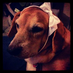 A Princess and her Bow #dogstagram #hound #adoptdontshop #rescue #dog