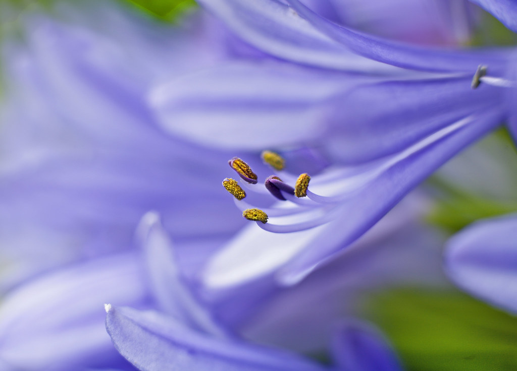 Agapanthus, Golden Gate Park