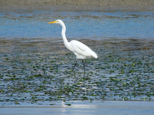 White Egret on Elkhorn Slough