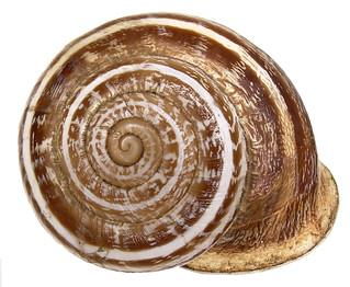 Eobania vermiculata (Mueller, 1774)
