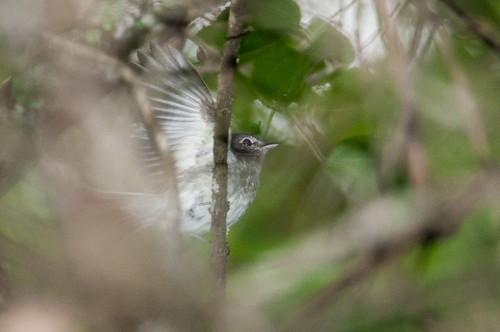 birds animals ecuador loja animalia vertebrates tyrannidae tyrantflycatchers graybreastedflycatcher lathrotriccusgriseipectus