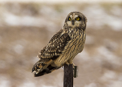 Short-Eared Owl.  Photo © Flickr User: snooker2009.