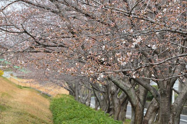 cherry_tree_1