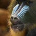 Mandrill portrait by Sara@Shotley