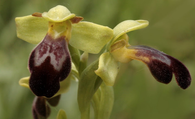 Ophrys arnoldi /Orchidaceae