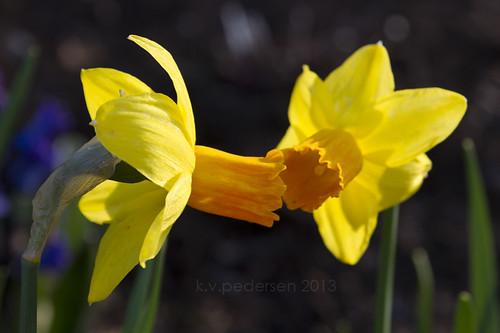 daffodil kiss