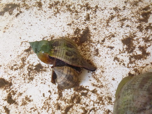 True Tulip Snail eating a Banded Tulip Snail