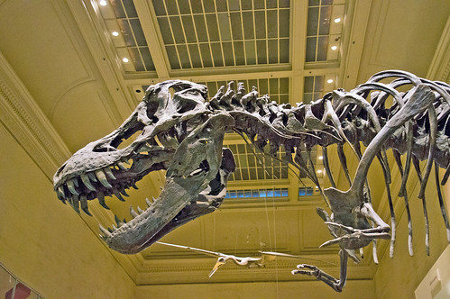 Tyrannosaurus Rex skeleton is on display in the Dinosaurs hall at the Smithsonian's National Museum of Natural History in Washington, D.C. Smithsonian photo by John Gibbons.