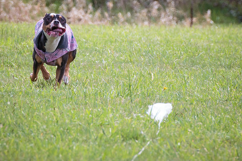 Lure Coursing Practice-1175
