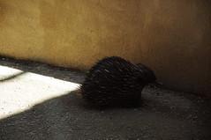 erinaceidae(0.0), echidna(1.0), animal(1.0), porcupine(1.0), mammal(1.0), fauna(1.0),