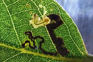 Ectoedemia heringella tenanted leaf mine