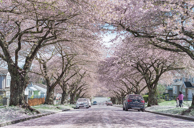 Vancouver Cherry Blossom Photos 187 Vancouver Blog Miss604