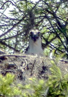 Startled Osprey
