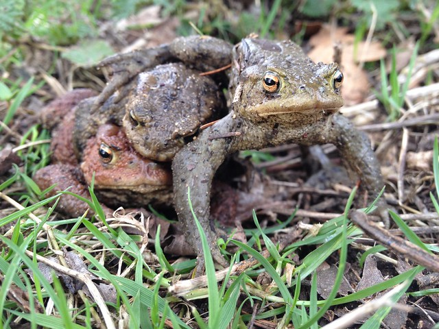 Common Toads
