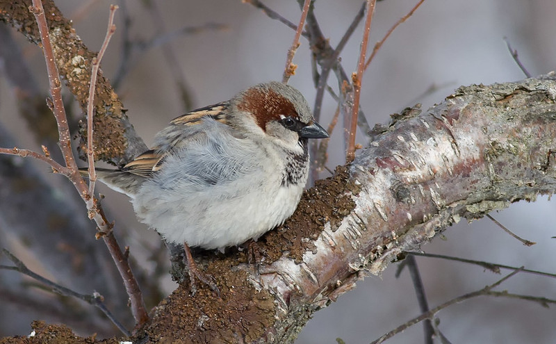 """""""Northern"""" House Sparrow"""