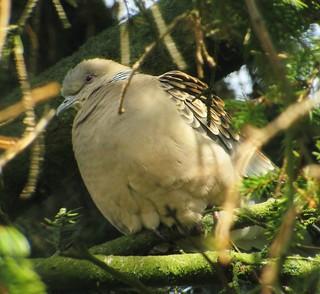 Större Turturduva / Oriental Turtle Dove