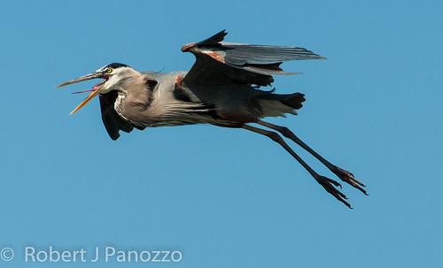 bird heron greatblueheron rookery veniceareaaudubonsocietyrookery