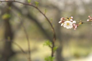 Cherry blossoms of Shitenno-ji temple garden No.4.
