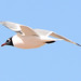 Franklin's Gull - RMA NWR, CO (5) by breitschbirding