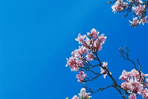 Magnolia Blossoms @ Brooklyn Botanic Garden