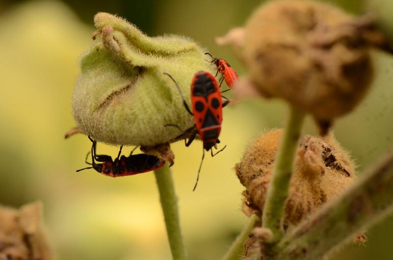 Firebugs on Hollyhock 29.08 (1)