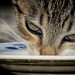 Thirsty Kitten