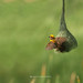 Baya Weaver by T@hir'S Photography