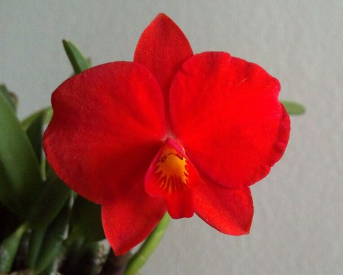 Cattleya (Sophronitis) coccinea 4N by rwa_in_SD
