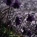 Violeta de agua (Pinguicula grandiflora Lam.)