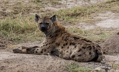lycaon pictus(0.0), dhole(0.0), animal(1.0), mammal(1.0), hyena(1.0), fauna(1.0), safari(1.0), wildlife(1.0),
