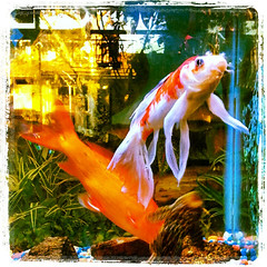 fish(1.0), fish(1.0), koi(1.0), goldfish(1.0), freshwater aquarium(1.0),