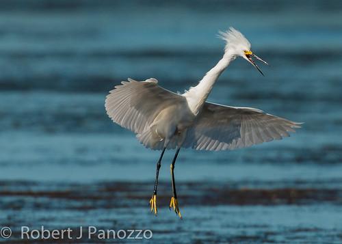 bird sanibel sanibelisland egret snowyegret autofocus naturesgallery jndingdarlingnwr goldwildlife 100commentgroup thenaturesgreenpeace allnaturesparadise