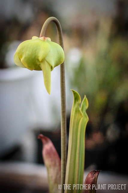 "Sarracenia flava ""Heavy Veined"""