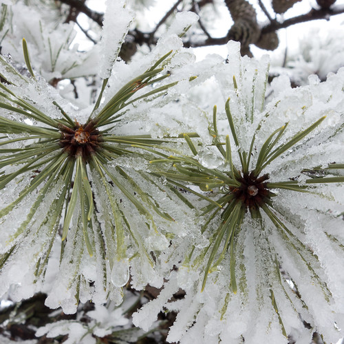 Pitch pine ice