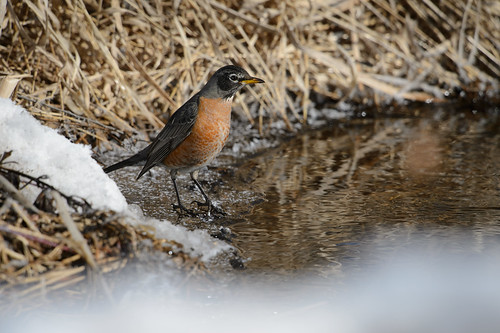 Robin on Ice_42910.jpg