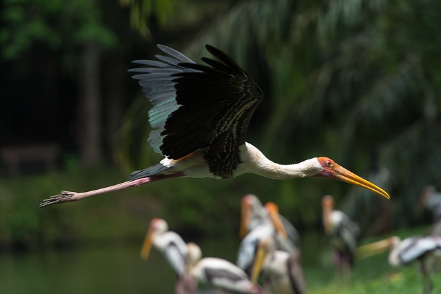 Yellow billed Storch