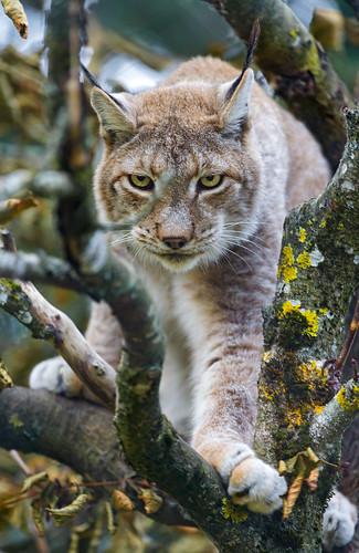 [フリー画像素材] 動物 (哺乳類), 猫・ネコ, オオヤマネコ ID:201303161000