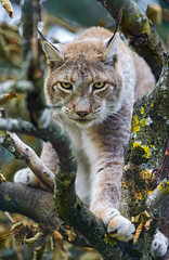[Free Images] Animals (Mammals), Cats, Lynx ID:201303161000