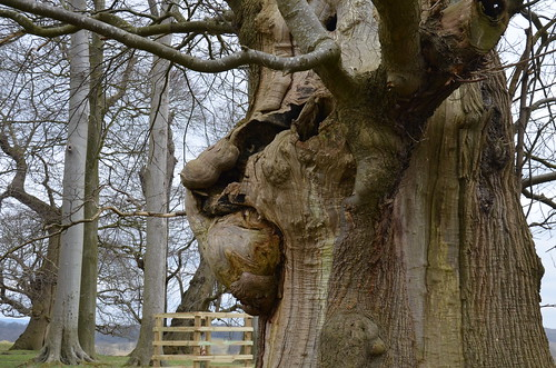 Old Man's Face in an Old Oak tree