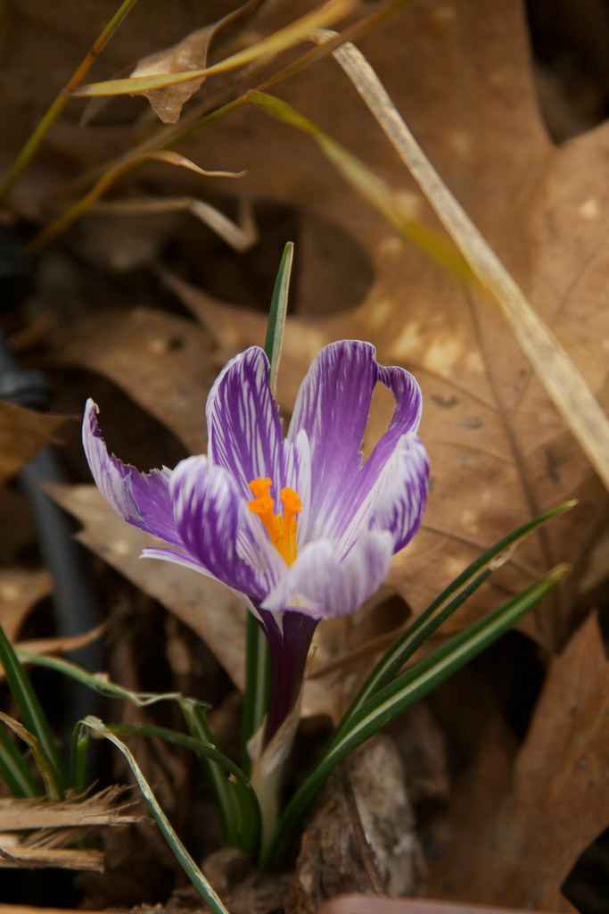 purple crocus  3337