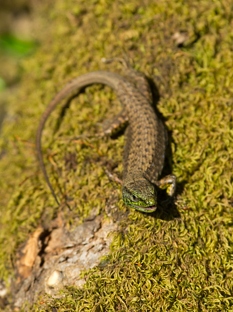 Balkan wall lizard Podarcis tauricus mouth open 2