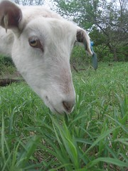 happy goat on pasture