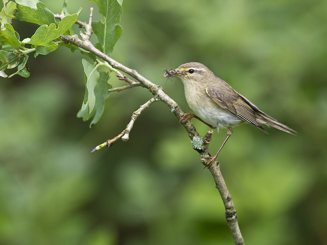 Willow Warbler (Phylloscopus trochilus) on oak branch with insects U.K.