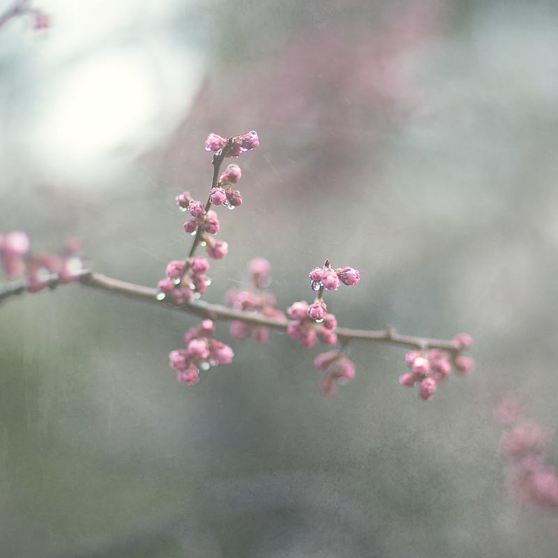 Japanese plum4
