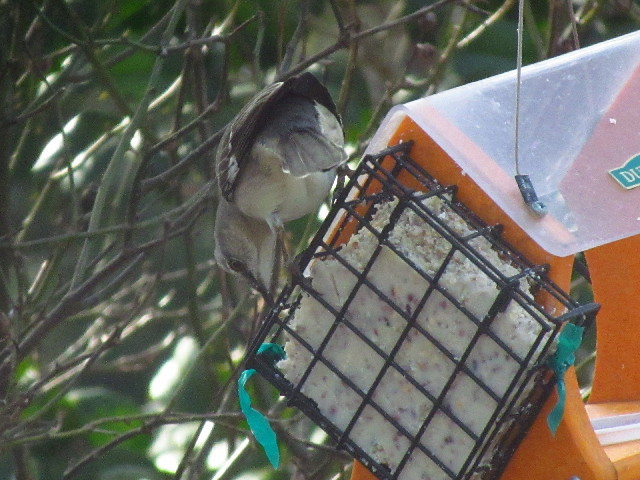Northern Mockingbird3 3:23:13
