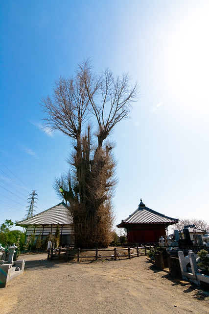 Ω1: The Giant Ginkgo of Jouzou Temple